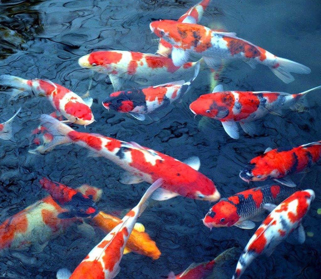 Рыба для садового пруда, покупка, кормление, уход
