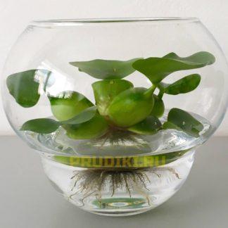 Водяной гиацинт (Эйхорния крассипес) - сет 3 шт.