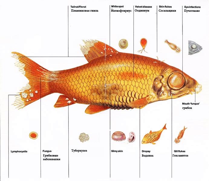 Лекарства для рыб в пруду. Чем лечить прудовых рыб? Симптомы болезней