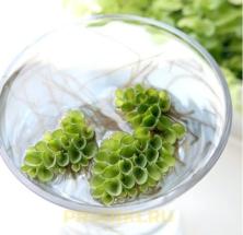 плавающие водоросли