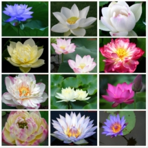 lotus_collage