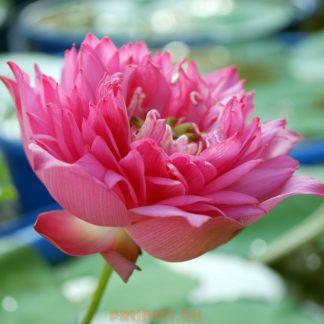 Лотос для пруда - розово-красный