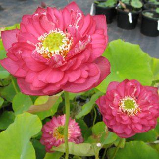 Купить лотос для садового водоёма на даче!