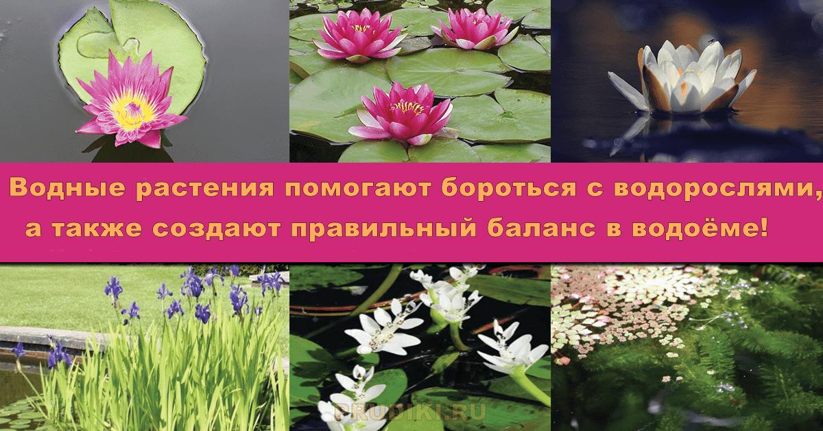 Какие водные растения выбрать и как посадить их в пруду.
