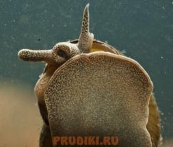 Viviparus-viviparus_dlya_pruda2
