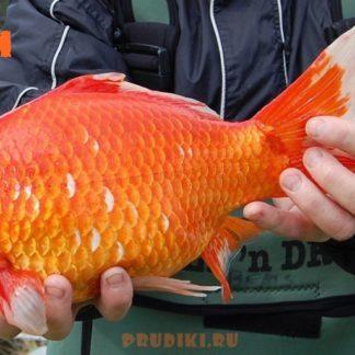 Карась цветной крупный красный (18-20 см)