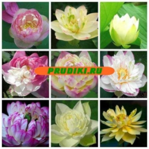 lotus-nelumbo-duoble-rose