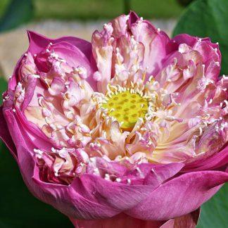 Лотос розово-лиловый для пруда на даче купить