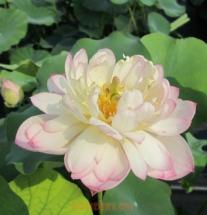 цветок для пруда