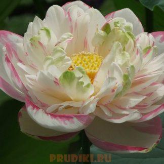 Лотос розово-белый гибрид