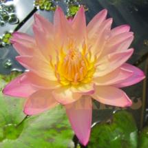 Кувшинка в пруд розовая