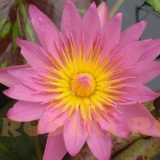 Кувшинка розовая Королева Сиама - клубень