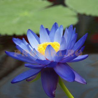 Синяя водяная лилия