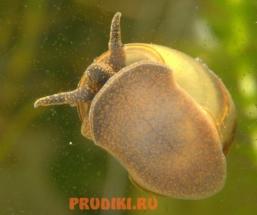 ulitki_dlya_pruda2
