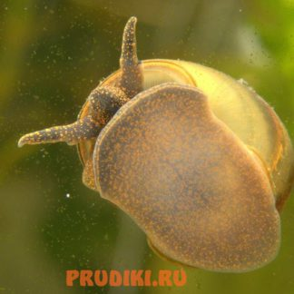 Улитка чистильщик пруда - Вивипарус (viviparus) 1 кг