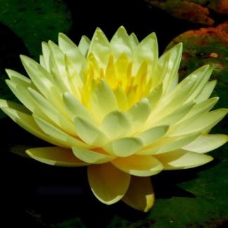 Нимфея с цветами желтая махровая - Norma Gode