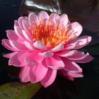 Кувшинка розовая махровая Fire opal