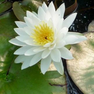 Нимфея белая крупная, махровая - White Sensation
