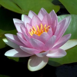 Нимфея розовая с цветами Formosa