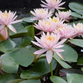 Водная лилия с крупными цветами - Марлиака розея
