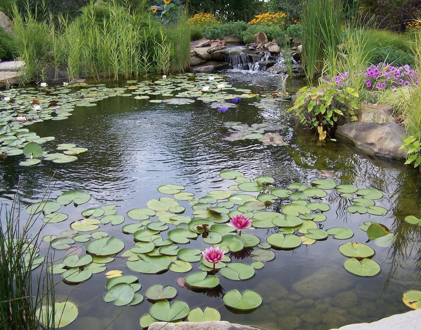 пруд с цветными лилиями