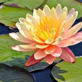 Цветущие водные лилии с цветами и бутонами