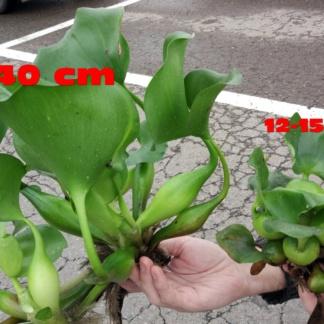 Водный гиацинт - Королевский ГИГАНТ! 25-40 СМ! (Эйхорния великолепная)