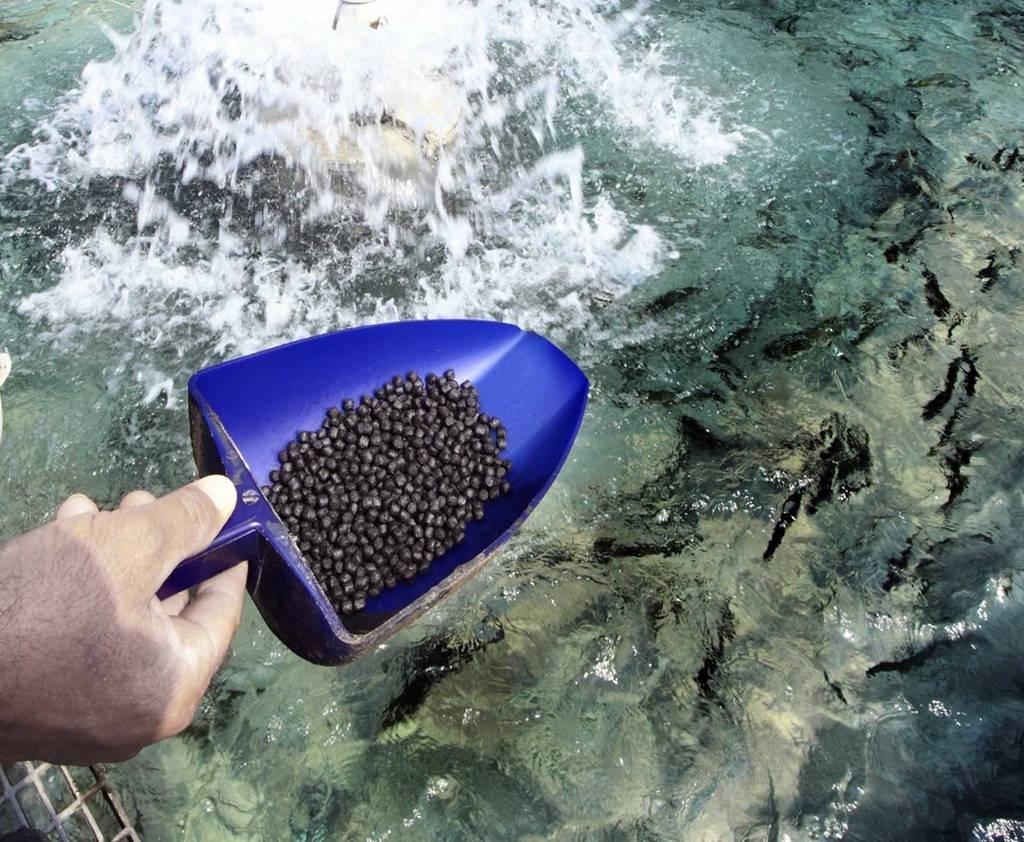Кормим тонущим кормом рыб