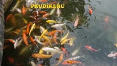 Красивые, зимующие живые рыбки в пруду Как разводят рыб для пруда, какие зимующие подводные рыбки, в водоёме рыбы лучше для водоёма?