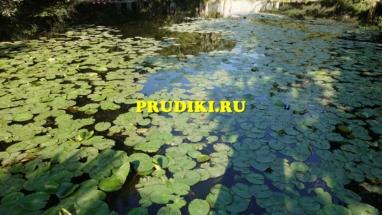 Красивые, зимующие водные растения в пруду Как разводят водоросли для пруда, какие зимующие подводные растения, в водоёме растения лучше для водоёма?