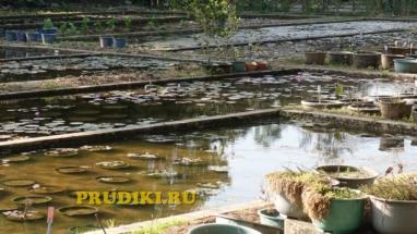 Красивые болотные растения в пруду Как разводят водоросли для пруда, какие зимующие подводные растения, в водоёме растения лучше для водоёма?