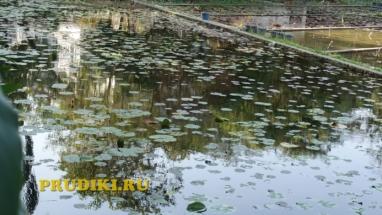 Красивые болотные растения в пруду Красивые водоросли для пруда, какие зимующие подводные растения, в водоёме растения лучше для водоёма?