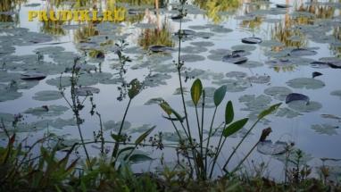 частуха болотная