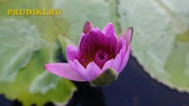 Водные кувшинки, лилии растения в пруду Красивые водоросли для пруда, какие зимующие подводные растения, в водоёме растения лучше для водоёма?
