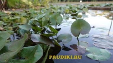 Чистильщики воды в пруду Красивые водоросли для пруда, какие зимующие подводные растения, в водоёме растения лучше для водоёма?
