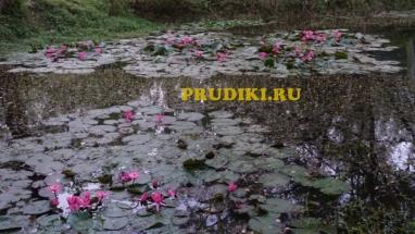 Чистильщики воды в пруду Красивые водоросли для пруда, какие зимующие лилии, кувшинки в водоёме растения лучше для водоёма?