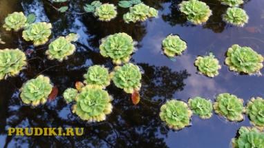 Чистильщики воды в пруду Красивые водоросли для пруда, какие плавающие растения лучше для водоёма?