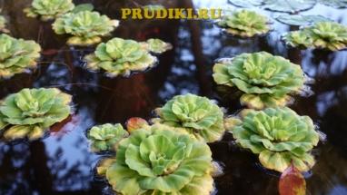 Полезные растения в пруду Красивые водоросли для пруда, какие плавающие растения лучше для водоёма?