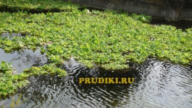 Полезные растения в пруду Красивые водоросли для пруда, какие растения лучше для водоёма?