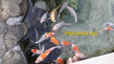 Рыба карп кои в пруду Красивые карпы для пруда, какая рыба лучше для водоёма?