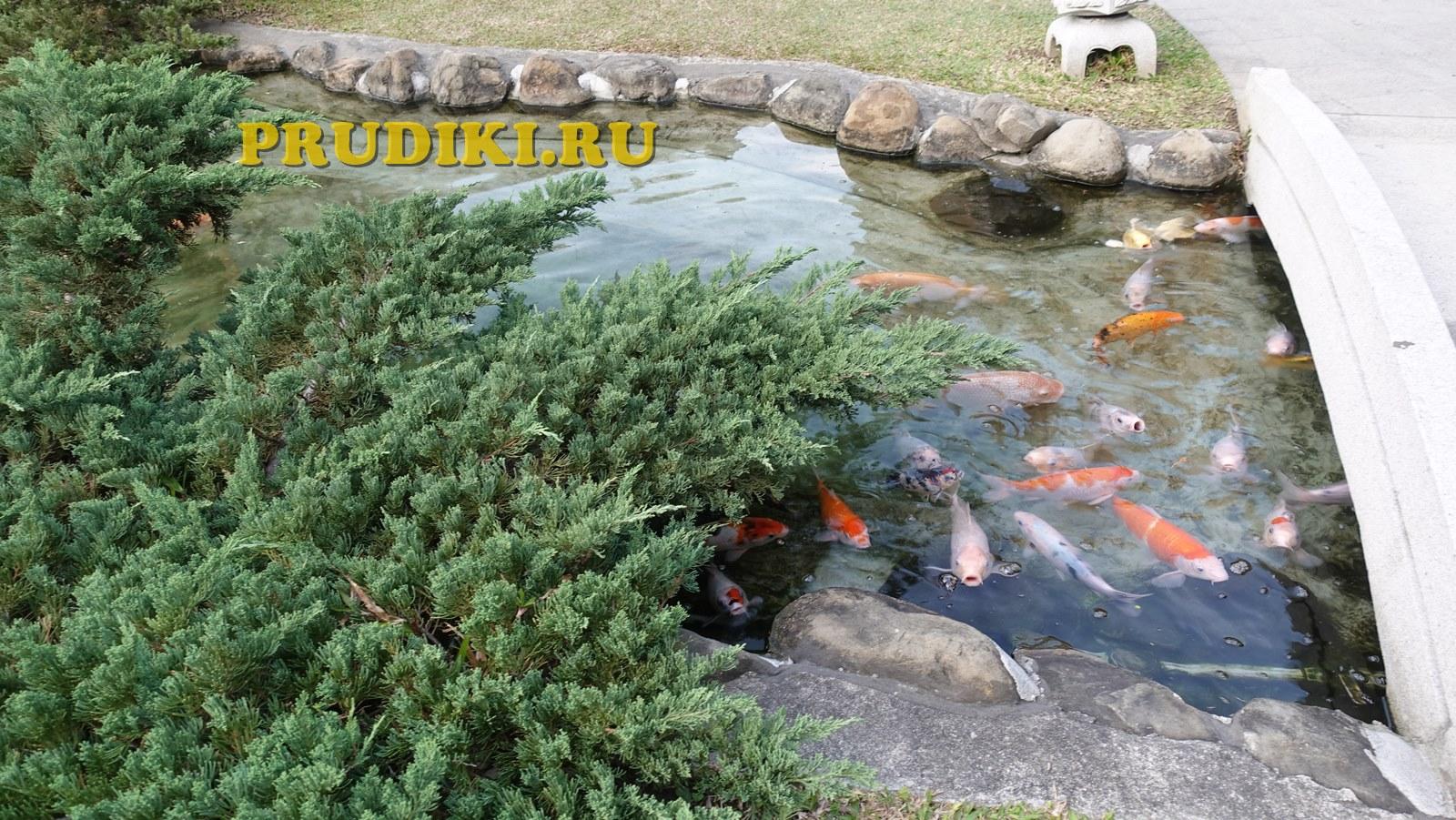 рыбы кои в пруду
