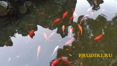 Рыба карп кои в пруду