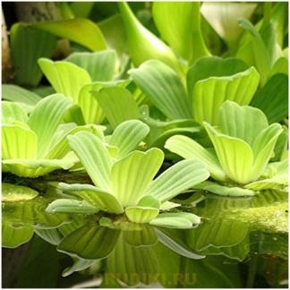 """Водный салат - """"Водная роза"""" плавающее растение для пруда"""