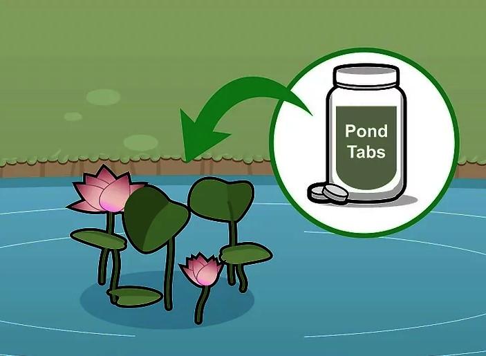 РЕШЕНО, сажаем лотос в пруд! Как выращивать лотос (Nelumbo) дома и в водоёме?