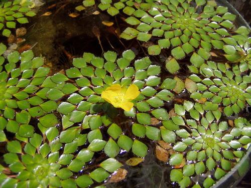 Плавающие зимующие растения от водорослей