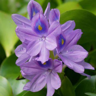 Водный гиацинт - Чистильщик пруда